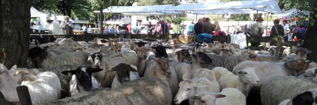 schapen in elspeet